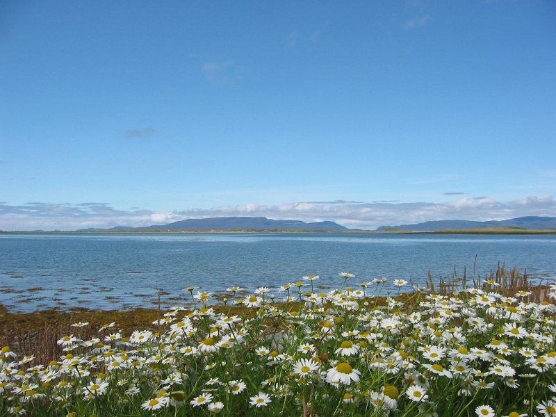 Wild flowers at Clew Bay